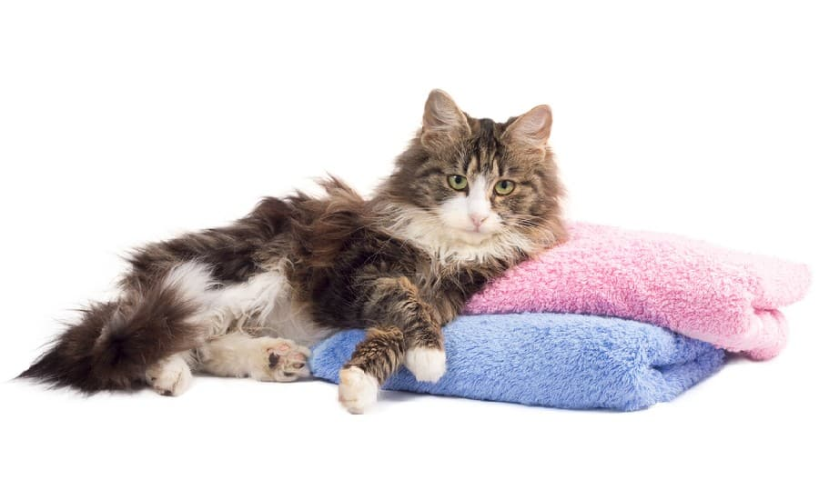 Beautiful fluffy cat lying on dirty colorful towels