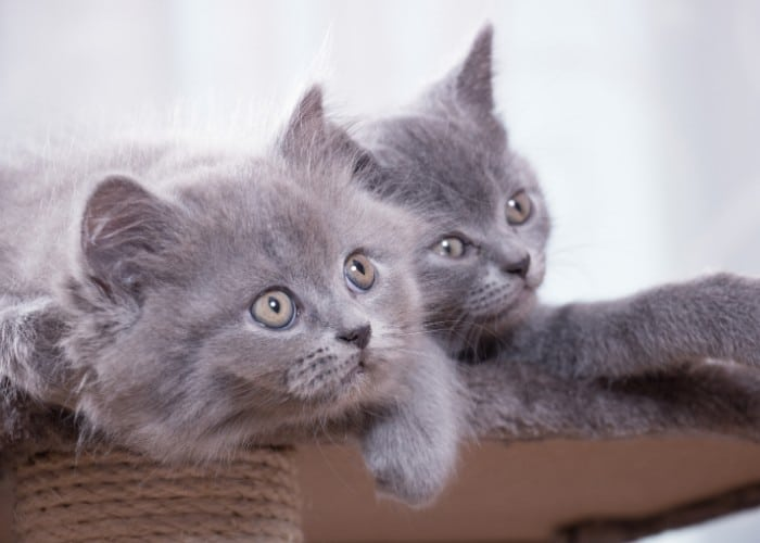 2 british shorthair kittens sitting in the couch