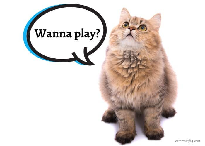 Persian cat excited to play