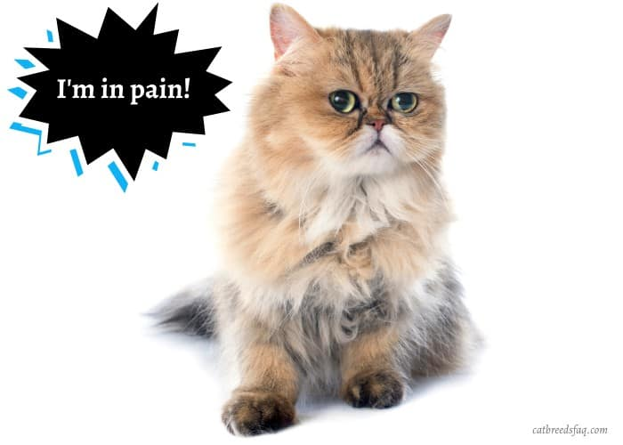 Persian cat in pain and looking at its left side