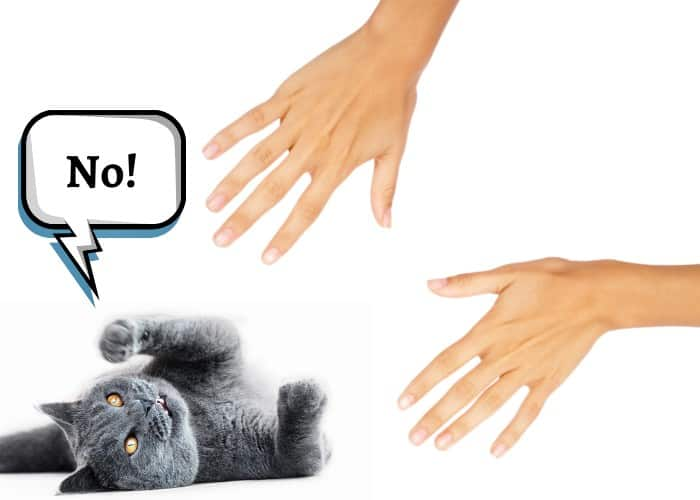 british shorthair hates being picked up image