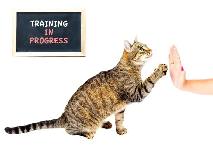 cat training in progress with its owner