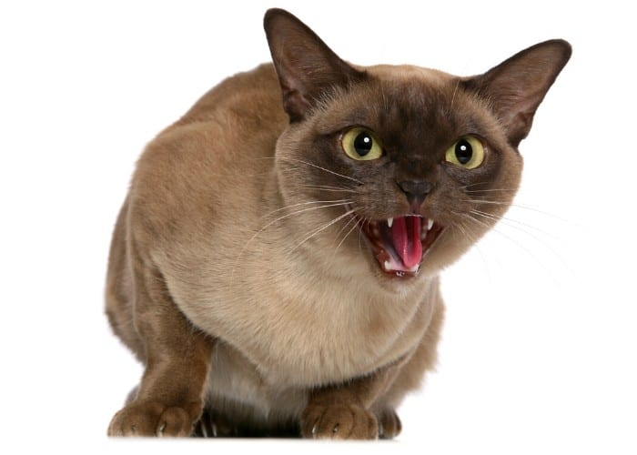 hissing siamese cat on white background