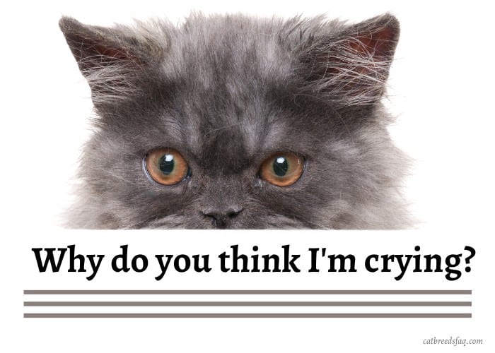 persian cat asking why it is crying