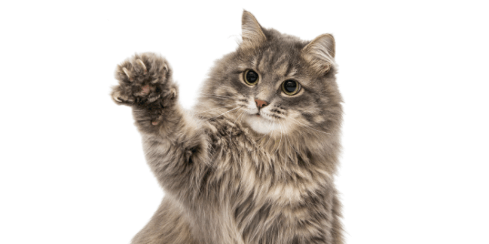 Why Do Cats Shake Their Paws feaured image