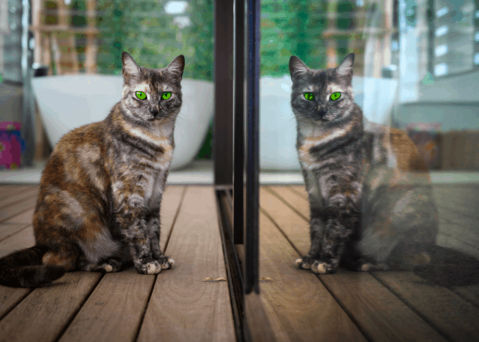 cat with green eyes ignoring its reflection
